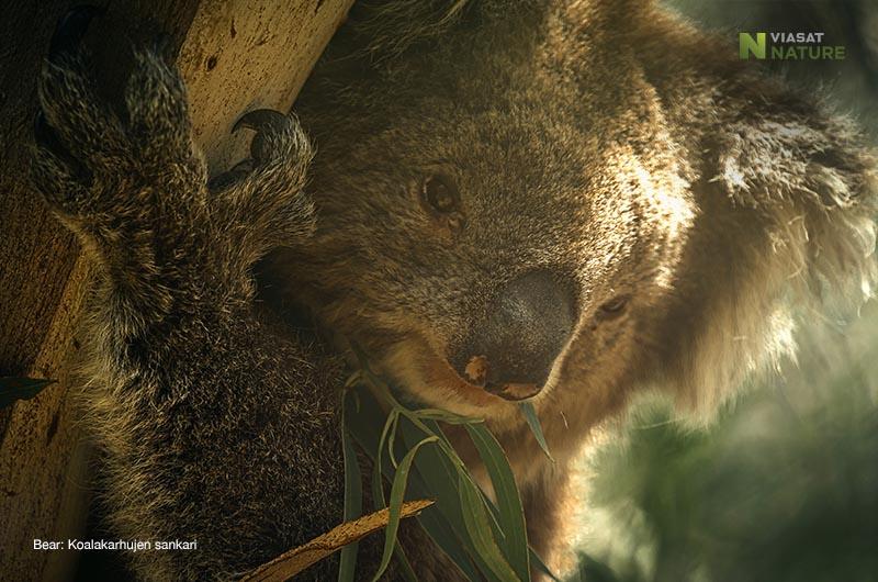 Koalakarhujen sankari