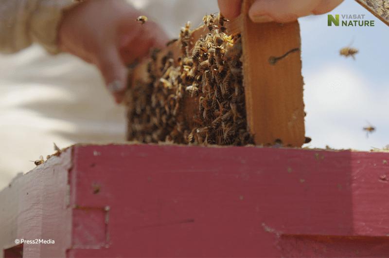 Charlie ja mehiläiset Viasat Nature